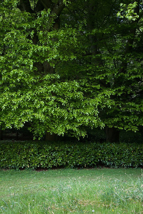 Trees underplanted with clipped Portuguese laurel, Rousham House and Garden.