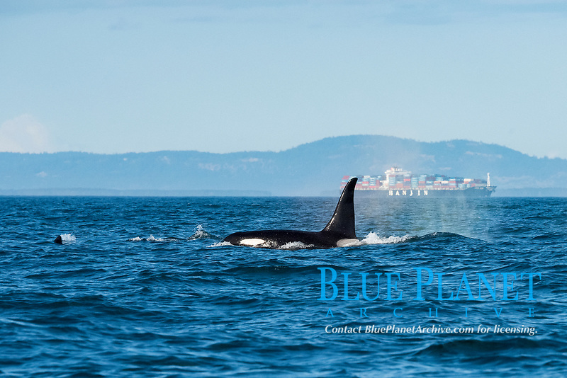 southern resident orca, or killer whale, Orcinus orca, swims past Victoria Harbor, off southern Vancouver Island, British Columbia, Canada, Strait of Juan de Fuca, Pacific Ocean, with a  a container cargo ship in the background; container ship strikes are a significant cause of mortality to whales around the world