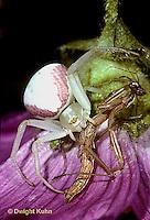 1M27-002x  Praying Mantis being eaten by crab spider - Tenodera aridifolia sinenesis