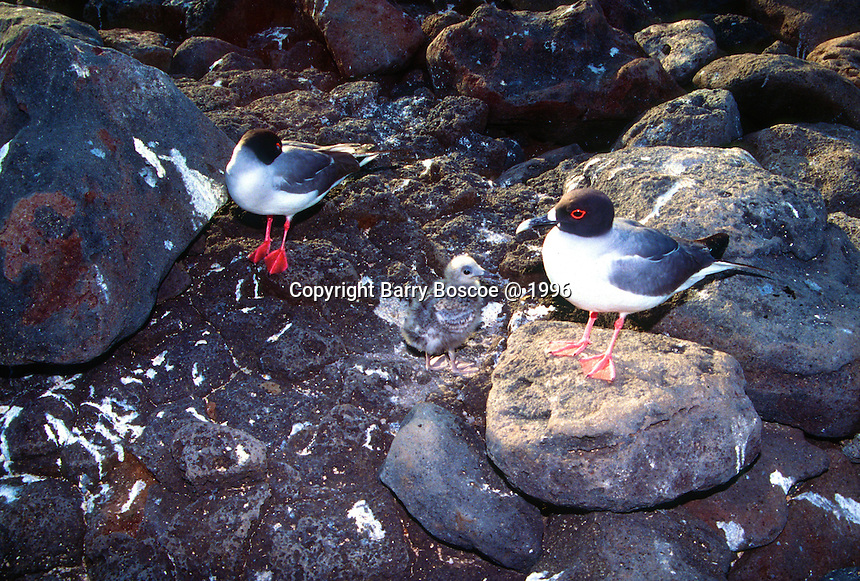 The Swallow-tailed Gull is a near-endemic breeding bird of the Gala?pagos Islands of Equador, seen here with a baby chick.