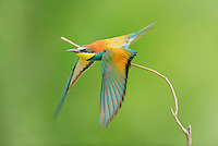 European Bee-eater (Merops apiaster), adult take off, Hungary, Europe
