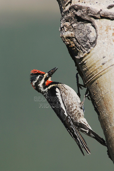 Red-naped Sapsucker, Sphyrapicus nuchalis, adult female with ant prey on aspen tree, Rocky Mountain National Park, Colorado, USA, June 2007