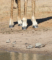 Turtles hang out at a watering hole, hoping to not get trampled by a giraffe.