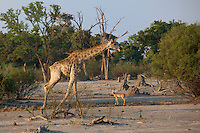 Giraffes on the move in search of food in the Okavango Delta, Botswana Africa.  Notice the Impala size diferential.