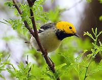 Adult male hermit warbler