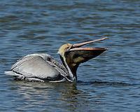 Brown Pelican, Port Aransas, Texas