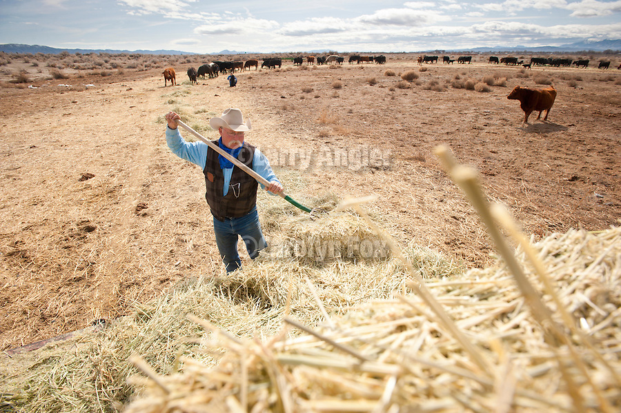 Cattle feeding in the afternoon at the McMullan Ranch, Lovelock, Nev...Cowboy Mike Saar pitches alfalfa and wheat hay from the hay truck