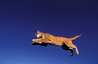 COUGAR/MOUNTAIN LION/PUMA..Cougars can broad jump farther than any other mammal - can leap up to 20 feet..Summer. Rocky Mountains..(Felis concolor).