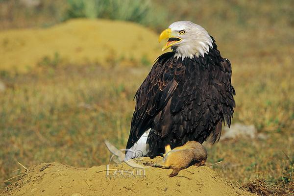 Bald Eagle (Haliaeetus leucocephalus) preying on black-tailed prairie dog(Cynomys ludovicianus).  Central Great Plains.