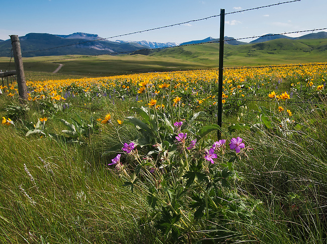 Wildflowers along a backroad to Augusta, Montana. Record rains resulted in a spectacular display in 2011.