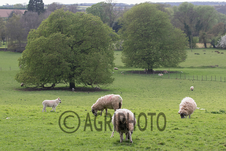 Ewes and lambs out at grass<br /> Picture Tim Scrivener 07850 303986<br /> ….covering agriculture in the UK….