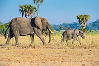 African bush elephant (Loxodonta africana) mother with calf walking, Liwonde National Park, Malawi, Africa