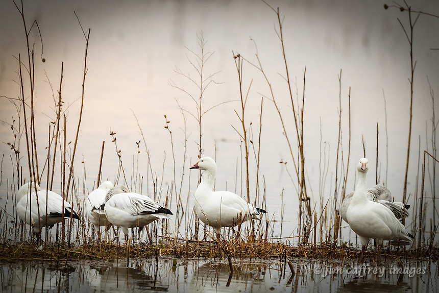 A small group of snow geese rest amongst the vegetaion near the edge of a pond in New Mexico's Bosque del Apache National Wildlife Refuge.