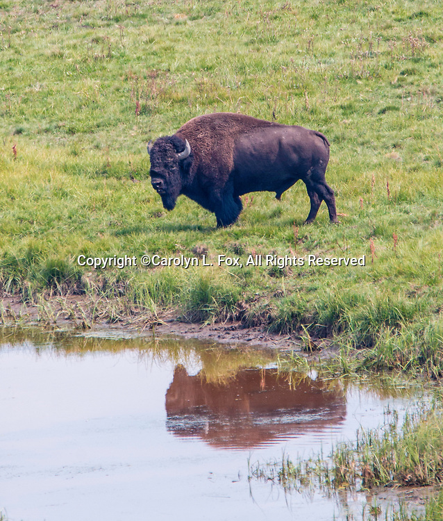 Bison are a common site in Yellowstone National Park.