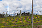 Hop farm in early spring, support poles and wires waiting croop growth.  Linn County, Oregon, USA.  Near Silverton.