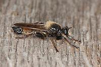 Gelbe Raubfliege, Gelbe Mordfliege, Männchen, Laphria flava, Bee like Robber-fly, Bee-like Robber-fly, Bee like Robberfly, Raubfliegen, Asilidae, robberfly, robberflies, robber-fly, robber-flies