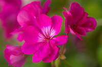 Geraniums on our front porch.<br /> <br /> Canon EOS 5D, Tokina 100mm f/2.8mm macro lens