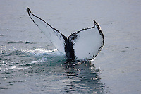 Humpback whales (Megaptera novaeangliae) showing tail or fluke whilst divng Spitzbergen Arctic Norway