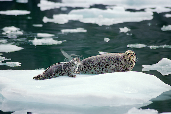 Harbor Seals--mother with pup--on small ice floe from Alaskan glacier.