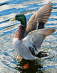 A Mallard Duck on the Pigeon River near the Old Mill in Pigeon Forge, Tennessee.