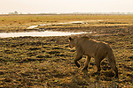 African Lion (Panthera leo) three year old female stalking in floodplain, Busanga Plains, Kafue National Park, Zambia