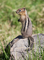 This species is often misidentified as a chipmunk.