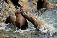 Northern or Steller's Sea Lions (Eumetopias jubatus) fighting.