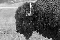 Bison aka buffalo wandering Montana's National Bison Range