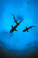 three whitetip reef sharks, Triaenodon obesus, following scent trail in water column, Cocos Island, Costa Rica, Pacific Ocean