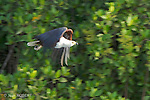 African Fish Eagle.pygargue vocifere.Haliaeetus vocifer -