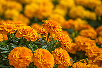 Marigolds, Endurance™ Orange Tagetes triploid; Syngenta Flowers