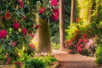 Path with bloominmg rhododendrons and tall trees at Crystal Gardens. Portland. Oregon