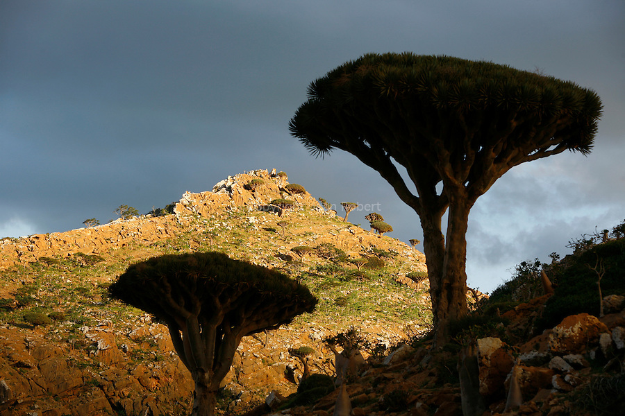 .Dragon's blood tree (dracanea cinnabari) on the Diksam plateau. This endemic tree is really rare (7000 only in Socotra) Socotra island. Yemen