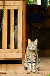 Domestic Cat (Felis catus) on porch with Domestic Dog (Canis familiaris) in crate, Bigodi, western Uganda