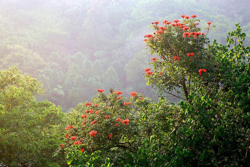 African Tulip tree. Kauai, Hawaii.