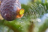 Kürbisspinne, Weibchen auf einem Fichtenzapfen, sitzt auf ihrem Kokon, Eikokokon, Araniella cf. alpica, Araniella cf. alpicus, cucumber green spider, Kürbisspinnen