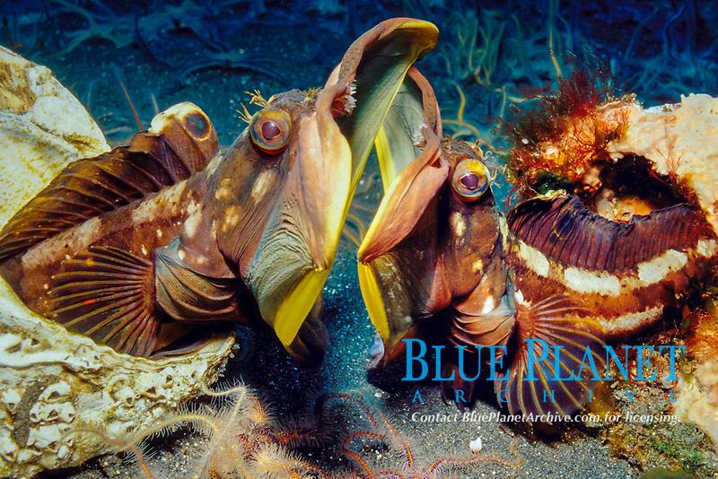 sarcastic fringehead, Neoclinus blanchardi, males, fighting, engaging in territorial dispute, Anacapa Island, Channel Islands National Marine Sanctuary, Channel Islands National Park, California, USA, Pacific Ocean