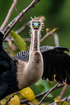Anhinga Eyes in mating turquoise and green, bug-eyed bird