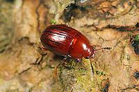 Trüffelkäfer, Trüffel-Käfer, Leiodes cinnamomea, Truffle beetle, truffle-beetle, Schwammkugelkäfer, Leiodidae