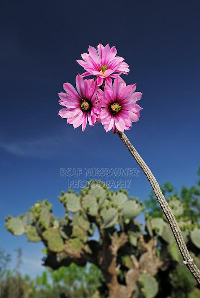 Dahlia hedgehog cactus (Echinocereus poselgeri) and Texas Prickly Pear Cactus (Opuntia lindheimeri), plant blooming, Laredo, Webb County, South Texas, USA