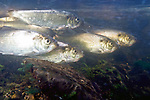 Alewife herring swimming right in Weymouth Back River shallow riffle area heading towards Whitman's Pond to spawn in spring time