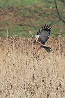 Rohrweihe, Rohr-Weihe, Flug, Flugbild, fliegend, Weihe, Weihen, Circus aeruginosus, Western Marsh-harrier, Eurasian Marsh-harrier, Marsh harrier, flight