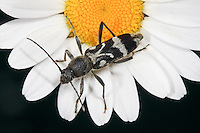Schulterfleckiger Widderbock, Schulterfleck-Widderbock, Steinbockkäfer, Chlorophorus figuratus, Longhorn Beetle