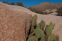 Beavertail Pricklypear (Opuntia basilaris) Cactus, Wall Street Mill, Joshua Tree National Park, California, US