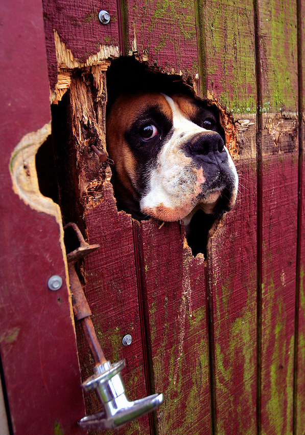 An adult female boxer looks out of a hole chewed through a door jamb on the Chester County farm of John Stolztfus, where they breed the puppies to supplement their traditional farming income.  Stolztfus says his family sells about 150 dogs a year at $600 each. LANCASTER, PA  11/15/05  11:36:02 PM