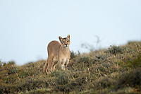 When she left the scene and hustled up over the hill, we thought our opportunity to view and film Rupestra had vanished. Our guides told us to be patient and that she was likely return to our spot as the sun got low. They figured this wild female Puma (Puma concolor) would stalk the herd of Guanaco in front of us that night. Then over an hour later, Rupestra bounded over the hill and right in front of us.