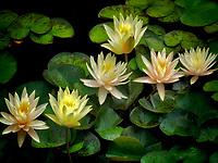 Water lilies in bloom in pond. Oregon