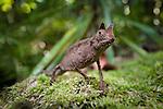 Stump-tailed or Leaf Chameleon (Brookesia superciliaris) on the forest floor. Marojejy NP, Madagascar.