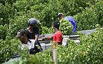 Foto: VidiPhoto..ROBERTSON - Bij het Zuid-Afrikaanse Robertson in de provincie West-Kaap worden bij de bekende wijnboer Van Loveren de witte druiven geoogst voor de Light White Semillon. De Semillonwijn is een lichte frisse wijn met slechts 9 procent alcohol die ook in Nederlandse winkels te koop is. Van Loveren is één van de grootste particuliere wijnboeren van Zuid-Afrika met een productie van 5 miljoen flessen wijn per jaar en 300 ha.druiven. Ongeveer 15 procent van de wijn is bestemd voor de export.