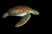 green sea turtle, Chelonia mydas, swimming at night in Apo Island, Philippines, Indo-Pacific Ocean